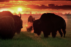 Buffalo on the pasture grazing. Sunrise over a herd of buffalos on the pasture during grazing Royalty Free Stock Photography