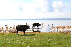 Buffalo and pelicans. On Nakuru lake east Africa royalty free stock images