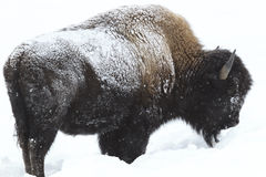 Buffalo in Permafrost in Deep Snow. American Buffalo in permafrost conditions standing in deep snow in Yellowstone National Park Royalty Free Stock Image