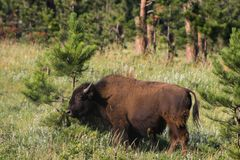 Buffalo and Pine Tree in Custer State Park in South Dakota Royalty Free Stock Images