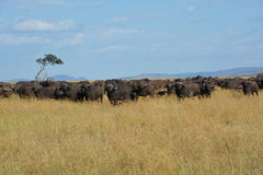 Buffalo on the plains of Africa. In a game reserve in Kenya.  Large group Royalty Free Stock Photography