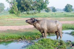 Buffalo played mud in thailand Stock Photo