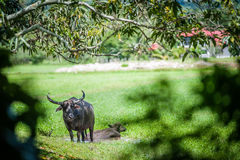 Buffalo in pond at field Royalty Free Stock Photography