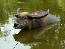 Buffalo in pond of thailand. Outdoor Stock Image