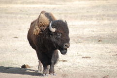 Buffalo with poop. Next to it Stock Photos