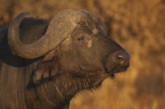 Buffalo portrait. A large bovine, especially in the head and shoulders.  Both sexes have horns; those of bulls characterized by a heavy boss and upward curved Stock Photography