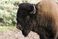 Buffalo portrait. American bison in Yellowstone National Park Royalty Free Stock Photos