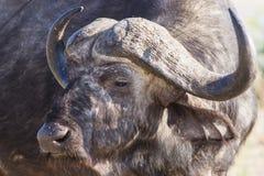 Buffalo portrait Stock Photography