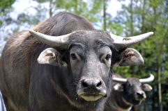 Buffalo. Portrait of swamp buffalo, Bubalus bubalis, the most important domesticated animal to man, found on the Indian subcontinent to Vietnam and Peninsular Royalty Free Stock Image