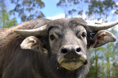 Buffalo. Portrait of swamp buffalo, Bubalus bubalis, the most important domesticated animal to man, found on the Indian subcontinent to Vietnam and Peninsular Royalty Free Stock Photography