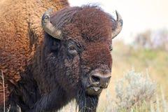 Buffalo portrait Royalty Free Stock Images