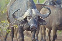 Buffalo Prince Stock Image