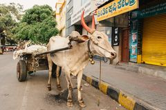 Buffalo pulling a cart on the streets of Indian city Mysore Stock Image