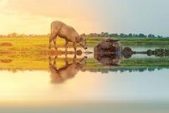 Buffalo réfléchi sur le fond de coucher du soleil Image stock