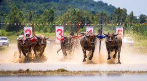 Buffalo race Royalty Free Stock Photos