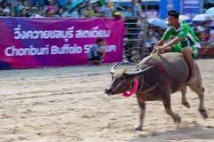 Buffalo race of Chonburi.  Stock Images
