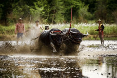 Buffalo Race Festival. Thai Culture buffalo race festival Stock Photography