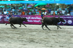 Buffalo Racing. CHONBURI - OCTOBER 18 : Unidentified participants in 142th Buffalo Racing Festival on October 18, 2013 in Chonburi, Thailand Stock Photos