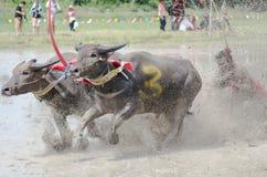 Buffalo racing Stock Photography