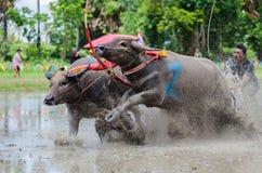 Buffalo racing Stock Images