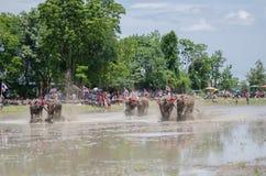 Buffalo racing Stock Image