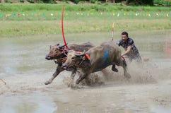 Buffalo racing Royalty Free Stock Photo