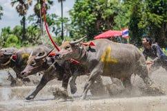 Buffalo racing Stock Photo
