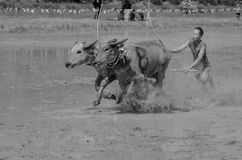 Buffalo racing Stock Photos