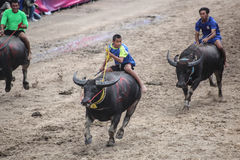 Buffalo racing. Chonburi, Thailand - October 18, 2013: Unidentified participants in 142th buffalo racing festival at chonburi buffalo stadium on october 18, 2013 Stock Photo