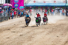 Buffalo racing in Chonburi. CHONBURI, THAILAND - 26 OCTOBER 2015 - Unidentified participants in the 144th Chonburi Buffalo Racing Festival on October 26, 2015 in Royalty Free Stock Photography