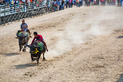 Buffalo racing in Chonburi. CHONBURI, THAILAND - 26 OCTOBER 2015 - Unidentified participants in the 144th Chonburi Buffalo Racing Festival on October 26, 2015 in Stock Photos