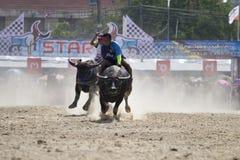 Buffalo Racing Festiva Royalty Free Stock Photo