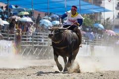 Buffalo Racing Festiva Stock Photo