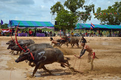 Buffalo racing festival. On August 19, 2012 the tradition of Thai contests, festival held its annual at Nongprue Chonburi Royalty Free Stock Images