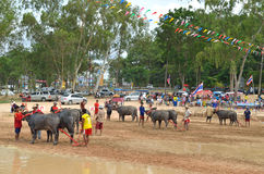 Buffalo racing festival. On August 19, 2012 the tradition of Thai contests, festival held its annual at Nongprue Chonburi Stock Image