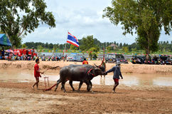 Buffalo racing festival. On August 19, 2012 the tradition of Thai contests, festival held its annual at Nongprue Chonburi Stock Photography
