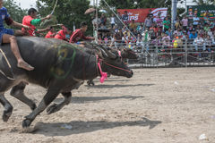 Buffalo racing festival 2015 Royalty Free Stock Photos