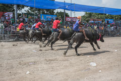 Buffalo racing festival 2015 Stock Image