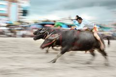 Buffalo Racing Festival. CHONBURI, THAILAND - OCTOBER 18 : Unidentified peoples raced buffalos in 142th Buffalo Racing Festival on October 18, 2013. Chonburi Stock Photos