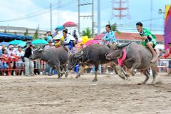 Buffalo Racing Festival. CHONBURI, THAILAND - OCTOBER 18 : Unidentified peoples raced buffalos in 142th Buffalo Racing Festival on October 18, 2013. Chonburi Royalty Free Stock Photography