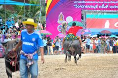 Buffalo Racing Festival. CHONBURI, THAILAND - OCTOBER 18 : Unidentified peoples raced buffalos in 142th Buffalo Racing Festival on October 18, 2013. Chonburi Royalty Free Stock Image