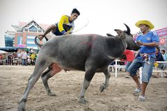 Buffalo Racing Festival. CHONBURI, THAILAND - OCTOBER 18 : Unidentified peoples raced buffalos in 142th Buffalo Racing Festival on October 18, 2013. Chonburi Royalty Free Stock Photos