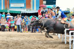 Buffalo Racing Festival. CHONBURI, THAILAND - OCTOBER 18 : Unidentified peoples raced buffalos in 142th Buffalo Racing Festival on October 18, 2013. Chonburi Royalty Free Stock Photo