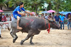 Buffalo Racing Festival. CHONBURI, THAILAND - OCTOBER 18 : Unidentified peoples raced buffalos in 142th Buffalo Racing Festival on October 18, 2013. Chonburi Stock Image