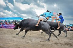 Buffalo Racing Festival. CHONBURI, THAILAND - OCTOBER 18 : Unidentified peoples raced buffalos in 142th Buffalo Racing Festival on October 18, 2013. Chonburi Royalty Free Stock Images
