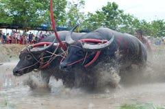 Buffalo Racing Royalty Free Stock Image
