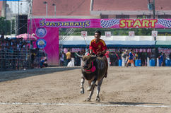 Buffalo racing , Traditional Festival. Chonburi, Thailand - October 26 , 2015 Buffaloes racing is held annually. the event is normally held before the rice Royalty Free Stock Photos