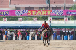 Buffalo racing , Traditional Festival. Royalty Free Stock Photography
