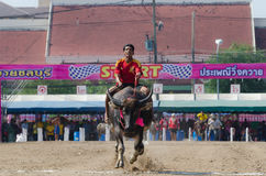Buffalo racing , Traditional Festival. Chonburi, Thailand - October 26 , 2015 Buffaloes racing is held annually. the event is normally held before the rice Royalty Free Stock Photo