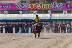 Buffalo racing , Traditional Festival. Chonburi, Thailand - October 26 , 2015 Buffaloes racing is held annually. the event is normally held before the rice Stock Photos